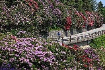 strada panoramica zegna fioritura di rododendri lnel blog ladra di biciclette