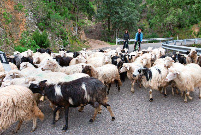 sicurezza stradale in bicicletta incontro di bici e pecore