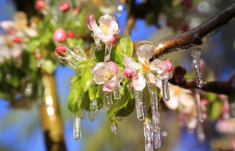 fiori di melo ghiacciati