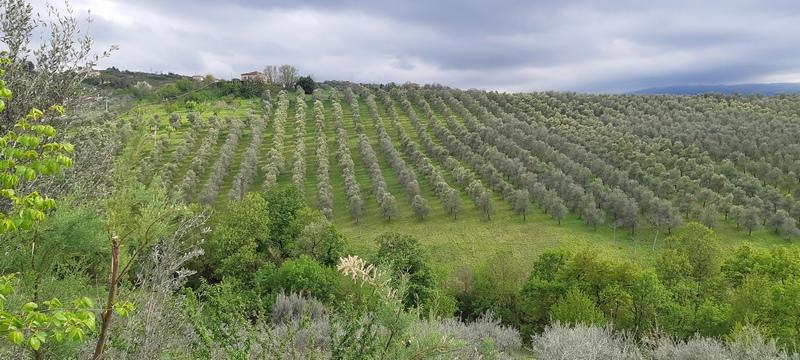Uliveti a Casalincontrada Abruzzo