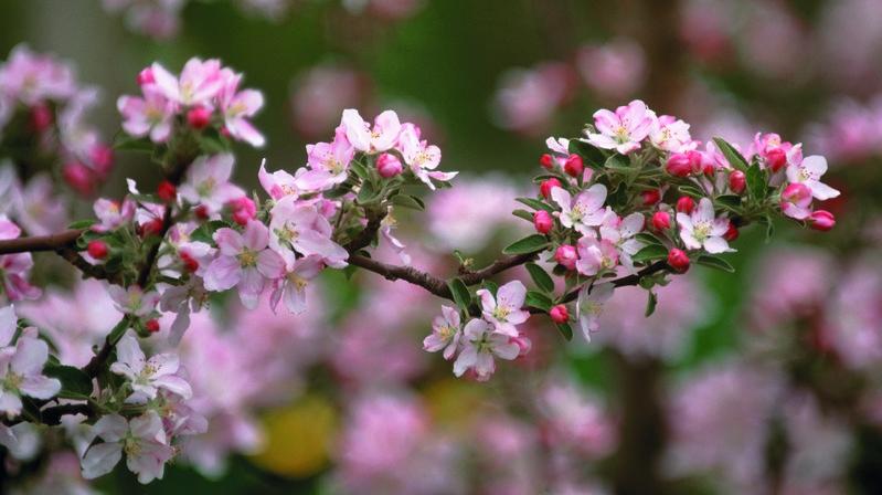 fiori di melo Val Venosta