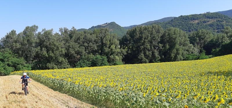 campi di girasole fuori urbino