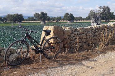 bicicletta muretto a secco e oliveti a Egnazia, Puglia